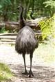 Tailing an emu