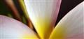 Sunrise Plumeria Petals