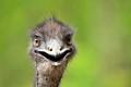Smiling_Emu