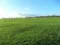 The Grass- sheep grazing
