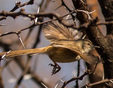 Namaqua Warbler