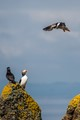 Puffin on the Isle of May, looking for a good landing spot under the watchful eye of the other puffins...