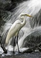 Egret by Falls