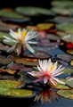 Water Lily in San Diego
