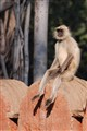 Chilled out Gray Langur at Ranthabhor