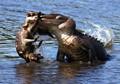 Alligator Wrestles A Raccoon