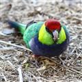 West Australian King Parrot
