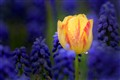 Tulip between grape hyacinths