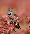 Flicker on a blueberry tree