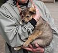 Socializing a future Iditarod sled dog