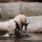 Wawona dog emerging