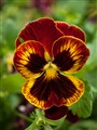 pansy with a hole in it (1 of 1)