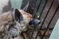 Hyena in a Zoo