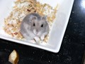 Ziggy the Hamster