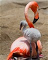 Young Flamingo with mother