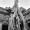 Tree @ Ta Prohm