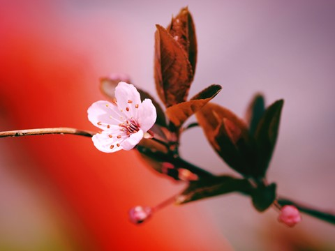 vancouver-cherry-blossoms-no-018