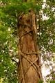 Strangler Fig on Cyprus Everglades, Fl