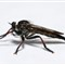 20_Robber Fly