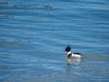 Red-breasted merganser duck