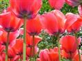 infinitely beautiful Tulips.