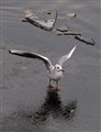 Blackheaded  Gull on ice