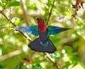 Purple-throated carib hummingbird