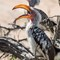 orange-billed hornbill