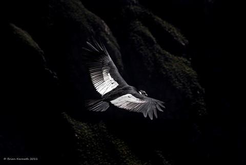 "Andean condor (Vultur gryphus), from the ""Cruz del Cóndor"" observation deck"