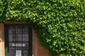 Tasmanian Ivy