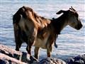 Malaysian beach goat