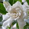 Gardenia # 4