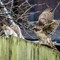 Squirrel and sparrowhawk