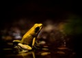 Phyllobates Terribilis - The Golden Dart frog