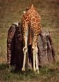 Giraffe Behind