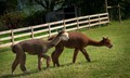 Animals,-Holland-Ridre-Farms