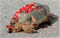 DYING SNAPPER - MORE NEEDLESS ROADKILL