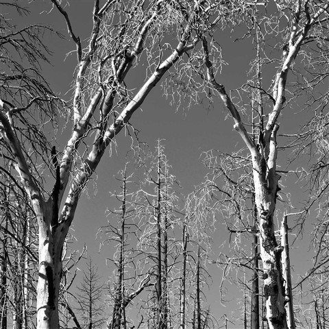 OakSnags_CuyamacaSP_1_014209_bw_1_1_reduced