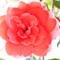 rose2 - Copy