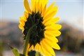 Wenatchee sunflower looks east