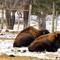 Crocker Creek Buffalo on 38B in Main, NY