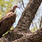 Hooded_vulture in Kruger Park