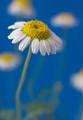 flower-daisy-DSC08476