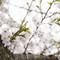 2015 Cherry Blossoms - 02