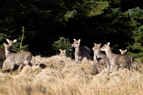 Sika Deer...the wild bunch.