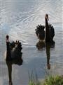 Black swans; Daylesford