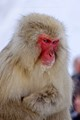 S is for Snow Monkey