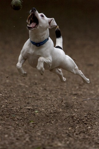Dog Jumping (Small): mblackmagico: Galleries: Digital