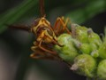 Brown-eyed Paper Wasp
