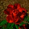 BW-Rose-From-Next-Door-Web